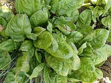 L oseille un l gumes de saison le potager coudert - Planter de l oseille ...